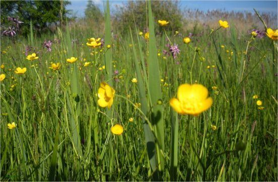 Półnaturalne łąki świeże