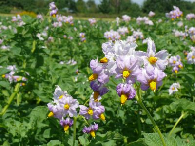 Dobór agrotechniki w uprawie ziemniaka w zależności od warunków klimatycznych
