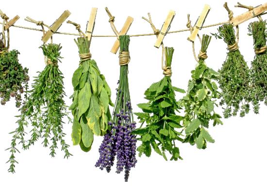 Technologia uprawy roślin zielarskich