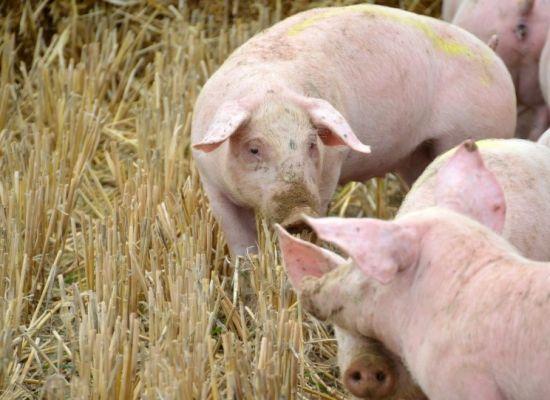 Pomoc na wyrównanie kwoty obniżonego dochodu dla producentów świń z terenów objętych restrykcjami w  związku z ASF