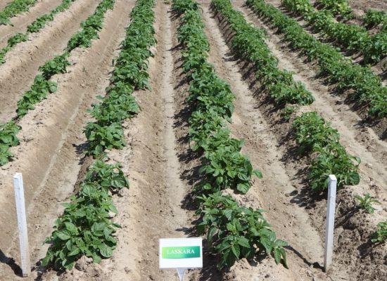 Zaprawiony ziemniak – zdrowszy ziemniak