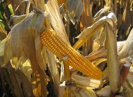 Gdy zakwita mniszek czy czeremcha możemy siać kukurydzę